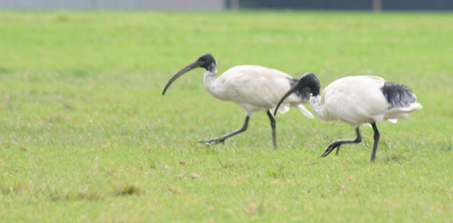 Australian White Ibis Birds in Sydney  (4)