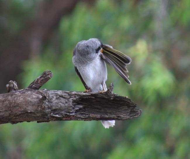Sydney Birds
