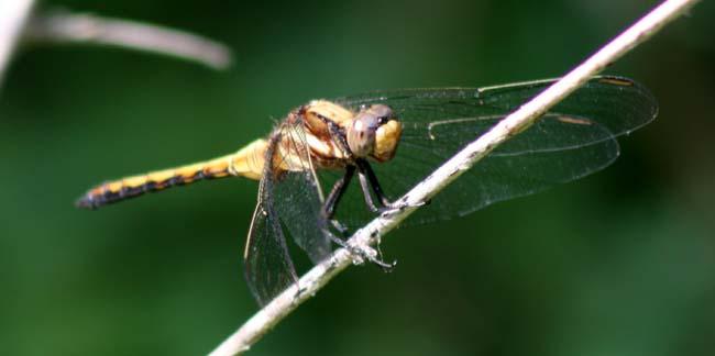 dragon fly (1)
