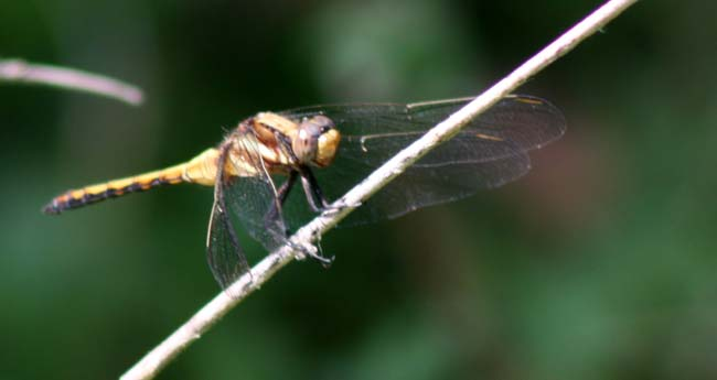 dragon fly (2)