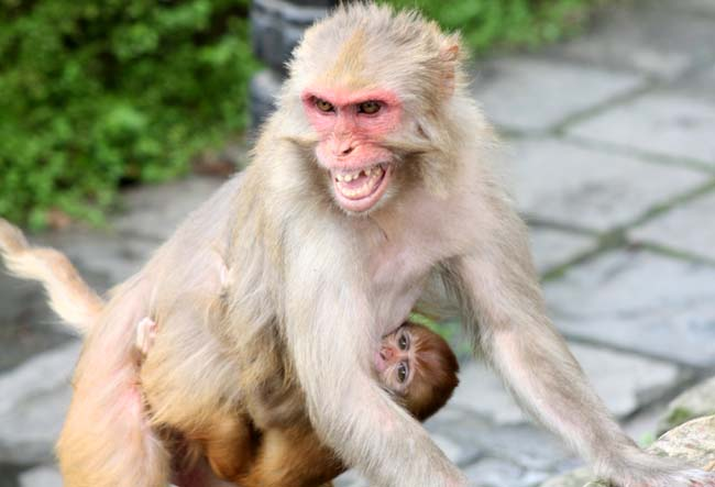 01 Aggressive Monkey in Kathmandu Nepal monkeys in Pashupatinath and Swayambhunath