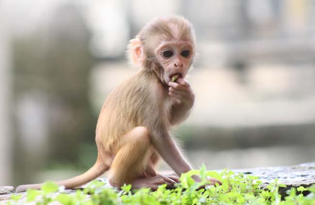 01 Baby Monkey in PashupatiNath Kathmandu Nepal