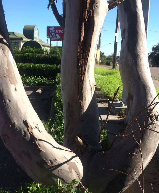 01 amazing tree with male organs in Sydney St Peters Australia