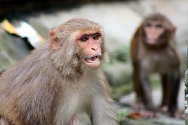 02 Aggressive Monkey in Kathmandu Nepal monkeys in Pashupatinath and Swayambhunath