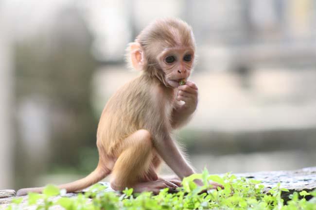 02 Baby Monkey in PashupatiNath Kathmandu Nepal