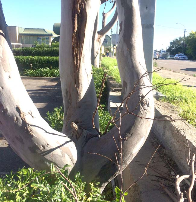 02 amazing tree with male organs in Sydney St Peters Australia