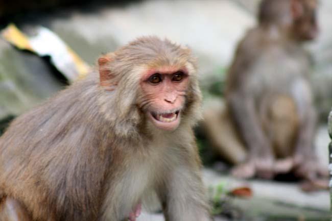 03 Aggressive Monkey in Kathmandu Nepal monkeys in Pashupatinath and Swayambhunath