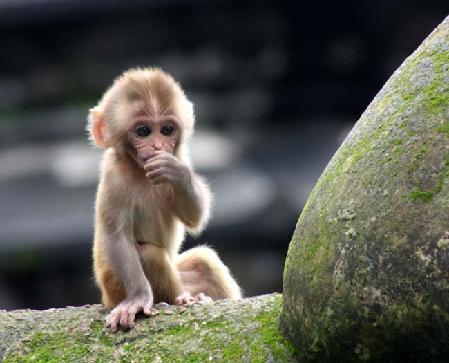 03 Baby Monkey in PashupatiNath Kathmandu Nepal
