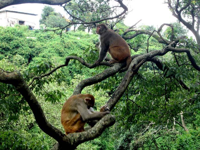 01 Monkey in Pashupati Nath Area Nepal