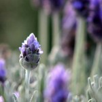 02 Blue color flower near coogee beach sydney