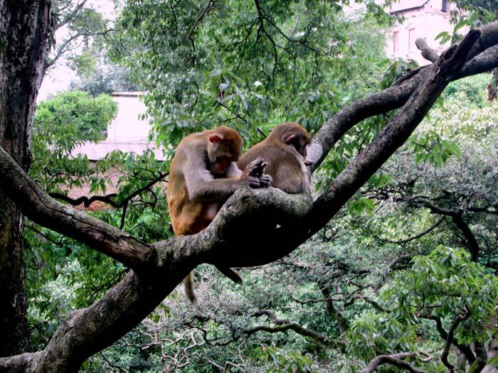 02 Monkey in Pashupati Nath Area Nepal