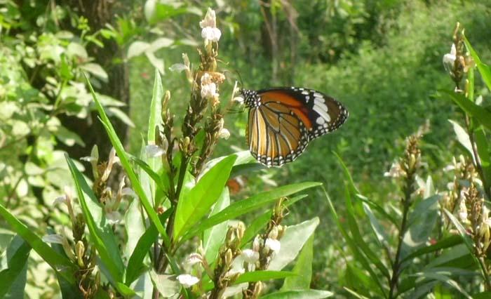 BUtterfly in Lumbini Nepal 2